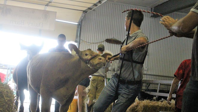 Students bring in cattle inside Evers Arena on Thursday. Members of the local chapter of 4-H and the Future Farmers of America spent the week showcasing their projects for the year in front of a panel of judges.
