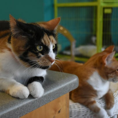 Cats, cats and more cats: Naples Cat Alliance offers adoptions in Tamiami Crossings