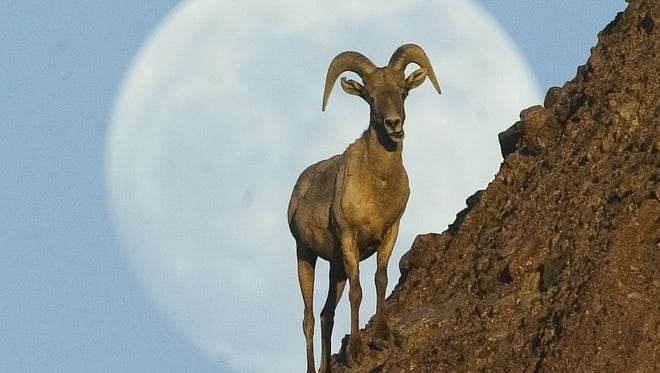 A big horn sheep watches the sunset from a butte at the Phoenix Zoo with an almost full moon rising from behind in this photo from 2004.