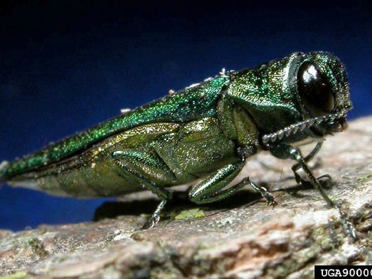 An emerald ash borer, an Asian insect that is wiping