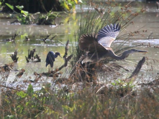 Blue Herons and numerous other bird species await nature lovers within the Rocky River Conservancy's land along Williamston Road on Anderson's east side. The conservancy and Anderson University officials have just secured a federal grant to continue cleanup at the site.