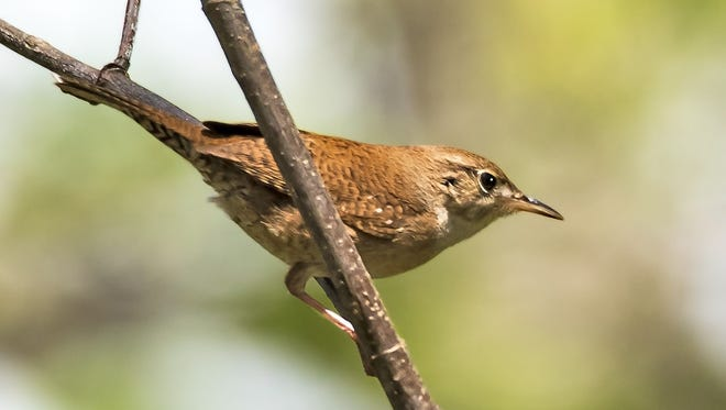 The house wren is one of the birds that sings early in the morning at sunrise.