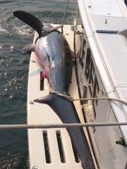 The 165-pound thin-tailed thresher shark lies across the swim platform of the Myrtle Bee. The tail sounded like a sledgehammer when they got the fish close to the boat, said skipper John Boyer of Salem.