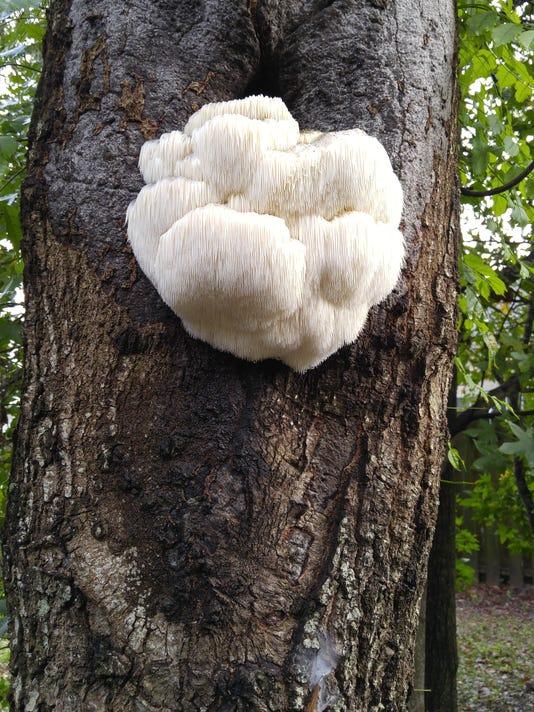 """Bear's head fungus"""", Hericium erinaceus"""