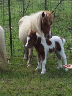 Two of Zoosiana's new miniature horses