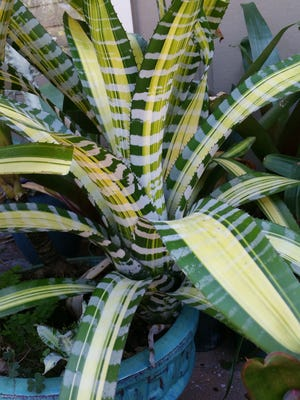 """The Aechmea """"Samurai"""" bromeliad has a signature plaid pattern and blooms a yellow, orange and melon-colored flower spike."""