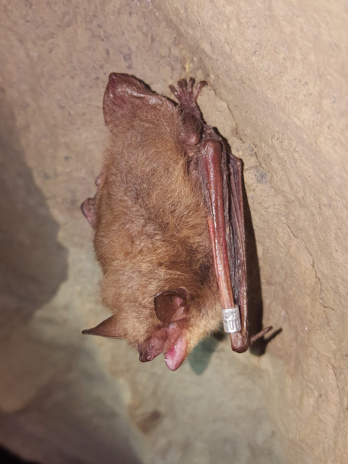 Little brown bats have made a former mine in Rockaway,