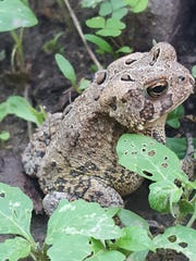 Many toads in the area have have special blood that