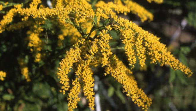 A native goldenrod grows well as a garden plant. it is a reliable source of fresh cut yellow flowers in September and October.