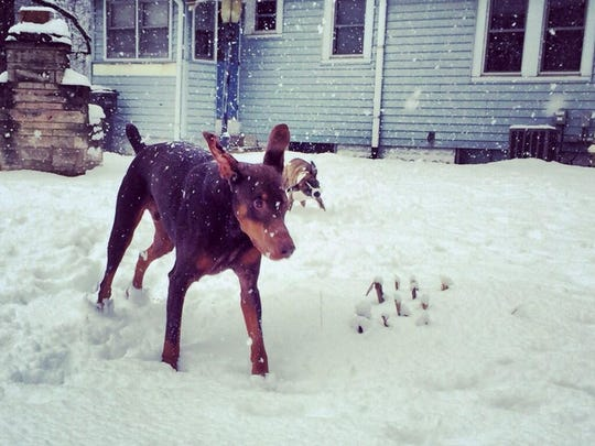 Vladimir (left) and Bella (back right) play in the snow Sunday.