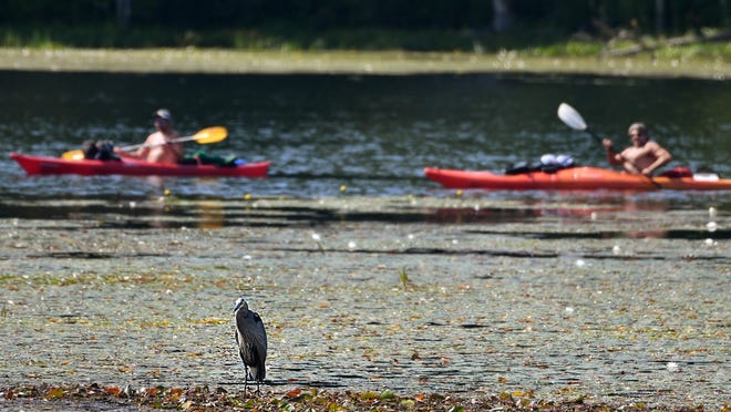RUTLAND - A great blue heron holds a pose as two kayakers extend their holiday weekend by having a paddle in Long Pond on Tuesday.