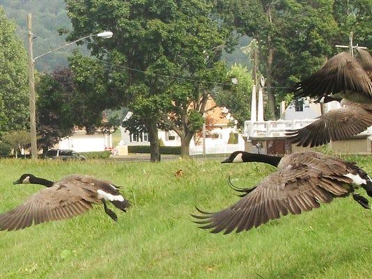 ELM 082613 geese 3 jdm