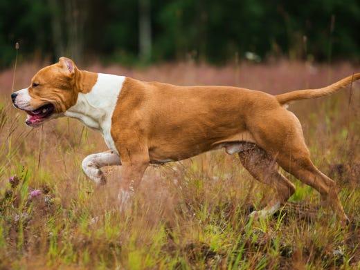 83. American Staffordshire terriers • 2016 rank: 81