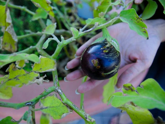 Pictured is an eggplant growing in the potting plants