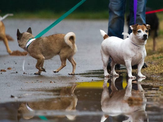 At right Half-Pint leads the pack on a purple leash