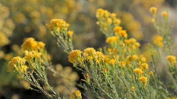 Rabbitbrush grows along the Virgin River Trail in Confluence Park.