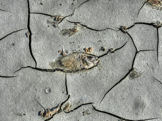 A dead Tilapia decomposes in the muddy Salton Sea western shoreline on Monday, September 17th, 2012. Dead fish litter the shoreline nearly everywhere you look at the sea. Jay Calderon, The Desert Sun