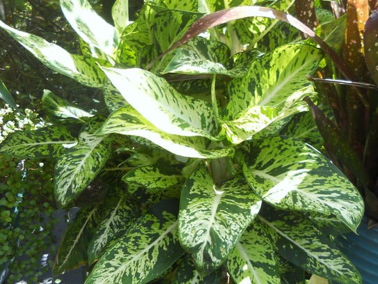If you lived up North, you probably had dumb cane,