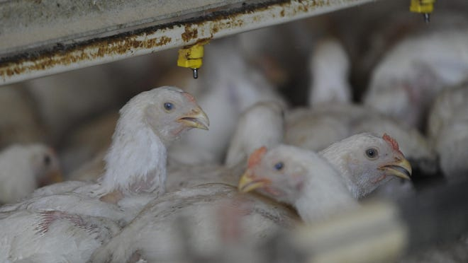 Five-week-old chickens are shown in a chicken house in Accomac in this 2012 file photo.