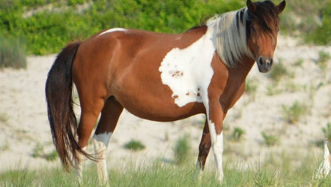 N10T-J, also known as Charmed, was euthanized by Assateague Island National Seashore state park officials after the horse's health declined.