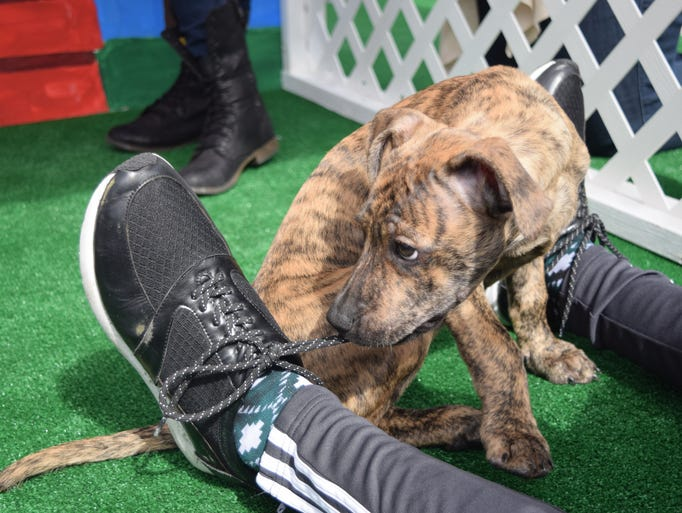 A shelter puppy helps a student with his shoelaces