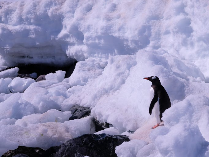 Spotting penguins in Antarctica is easy to do. They