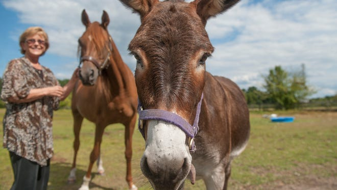 Darlene Supnick of Medford, founder of the Forgotten Angels Equine Rescue group stands by a rescued seeing-eye donkey named Jenny, front, and a blind sanctuary horse named Gllory, cq, at Supnick's farm.    08.27.15