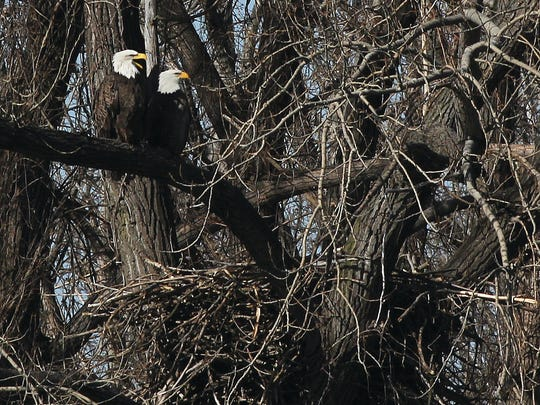 Bald eagles perched above their nest in Ridgefield