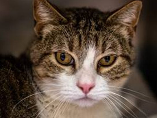Titan - Male (neutered) domestic short hair, about