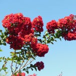 Crape myrtle blooms brighten summer landscapes with blooms that can be six to 18 inches long.