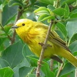 "Singing ""sweet, sweet, summer's sweet,"" yellow warblers are a common summer visitor to Montana."