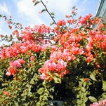 Gardening: What are those beautiful flowering plants?