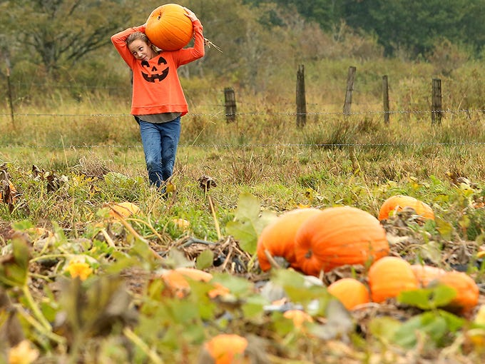 Wearing a festive jack-o-lantern shirt, Audrey Noble, 10, of Silverdale, hoists a large pumpkin onto her shoulder while she and her family pick pumpkins during the opening day of the pumpkin patch at Hunter Farms in Union on Saturday, October 1, 2016. In addition to 35 acres of pumpkin patch that is accessed by visitors via a covered wagon pulled by a tractor, the farm also offers a corn maze, petting zoo, and hay maze.
