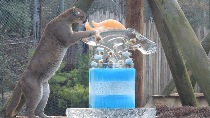 A panther at the WNC Nature Center devours an ice sculpture of a Bronco, representing the Super Bowl rivalry between the Carolina Panthers and the Denver Broncos.