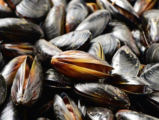 Blue mussel (Mytilus trossulus)