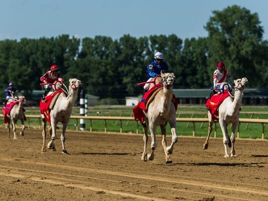 Jockey Rogelio Miranda (center) rides a camel named Head in the Sand as they lead the pack during a camel race at Ellis Park in Henderson, Ind., on Saturday, July 8, 2017. The pair crossed the finish line first.