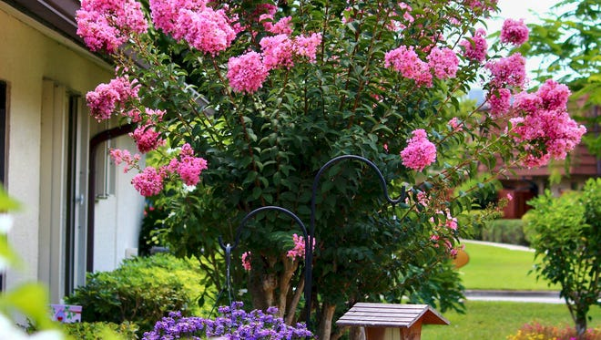 Crepe myrtles arrived in Northwest Florida in the 1880s, and had a resurgence of popularity in the late 1970s/early 1980s thanks to former Pensacola Mayor Warren Briggs.