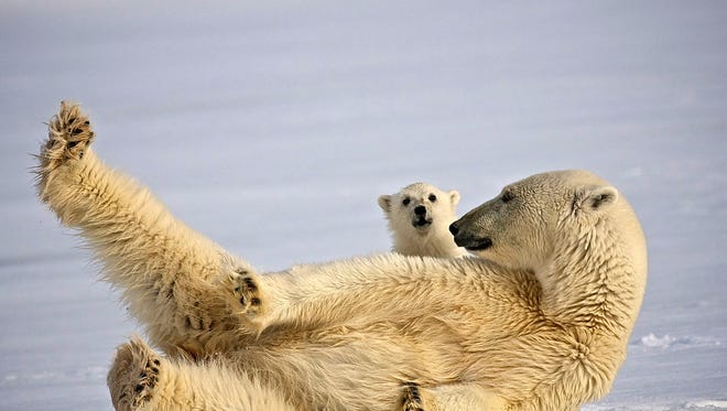 Huge carnivorous polar bears rule in the North Pole.