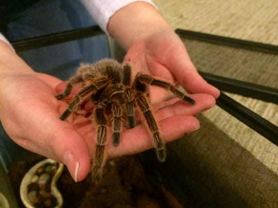 She's no Ron Weasley! Karen Verderame holds Karen, a Rose Hair tarantula, at the Academy of National Sciences at Drexel University. Harry Potter's sidekick, Ron, was deathly afraid of spiders, but this exhibit teaches visitors they aren't so scary and keep more annoying bugs at bay.