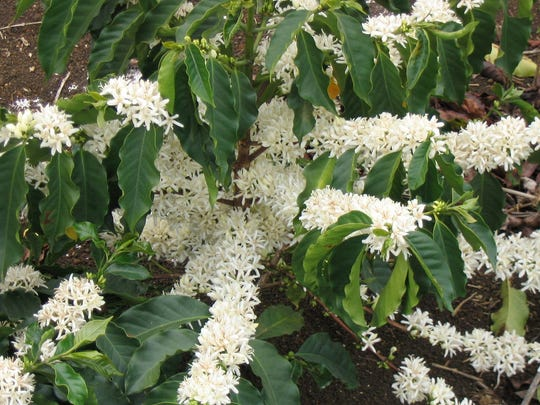 Coffee blossoms are seen here on the tree. There are