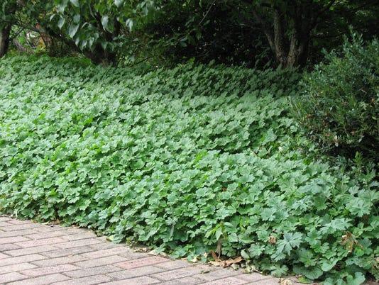 636053115363266907-08-01-2016-Olbrich-Botanical-Garden-Bikoa-geranium.jpg