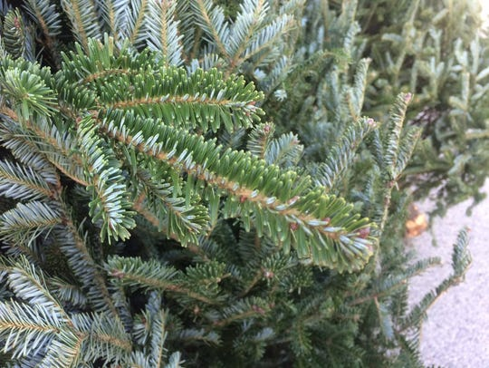 Frazier fir trees have thick, dense needles and a pleasant