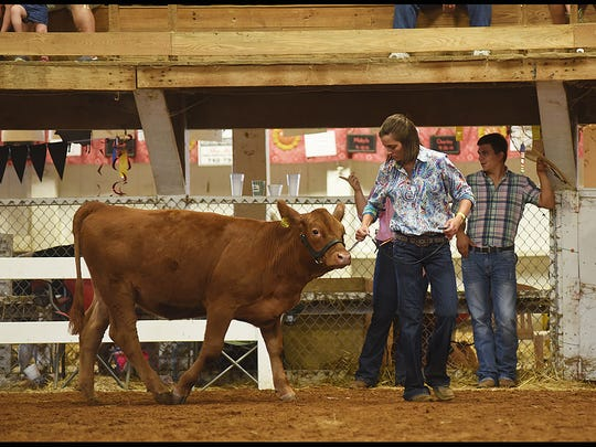 Hainsley Hatfield shows a steer during the showman of showmen competition at the Muskingum County Fair. Hatfield won sheep showmanship.