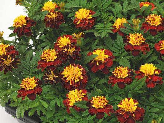 Super Hero Spry marigold does not require dead heading, making it a good candidate for a summer pot.