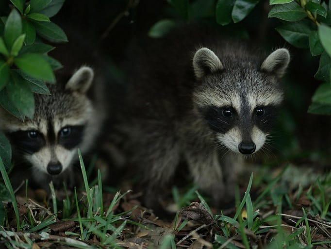 Two curious baby raccoons found in a bush in Pensacola.