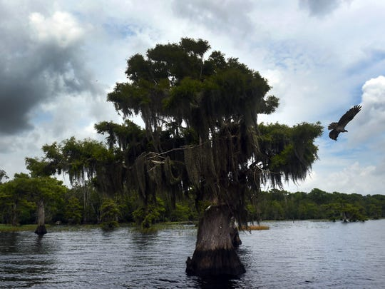 An osprey flies from its nest in a cypress tree along the shore of Blue Cypress Lake Thursday, May 31, 2018, in northwest Indian River County. Phosphorus levels in the lake have risen and can feed harmful, sometimes toxic, algae blooms that can lead to fish kills and ruin the lake's ecosystem.