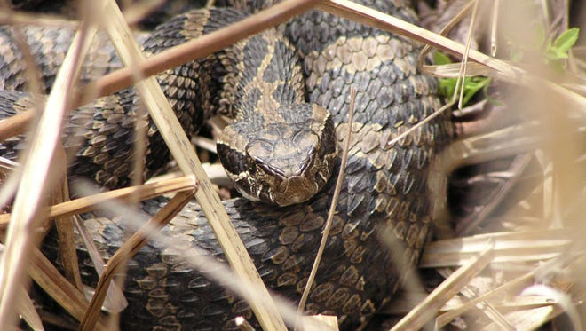 The Eastern Massasauga Rattlesnake will be listed as a threatened species, entitling it to protection under the federal Endangered Species Act.