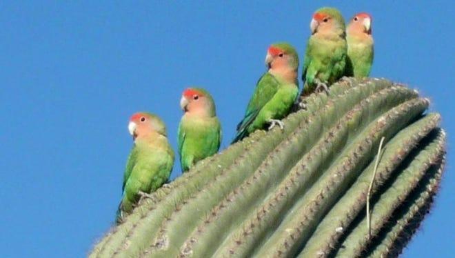 Lovebirds sunning themselves in Mesa.. Photo by Kathy Hurst, Mesa, AZ