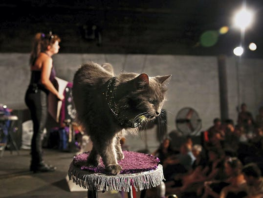 "Pudge ""The Sweetheart"" is ready to meet the audience after the show in Brooklyn. Only a few of the cats can be petted."