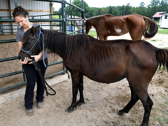 Tawnee Preisner, founder of Horse Plus Humane Society, pets a pony that she rescued that she saw on Craigslist.  Preisner and others are campaigning to change the law surrounding animal abuse and horses in Tennessee. Horse Plus Humane Society's farm in located in Hohenwald, Tenn.